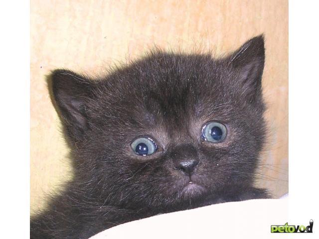 Шотландская вислоухая кошка  черная