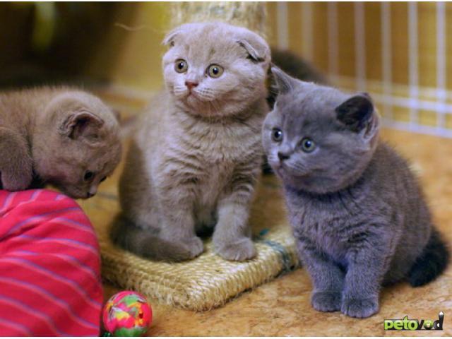 Продам шотландские вислоухие котята москва