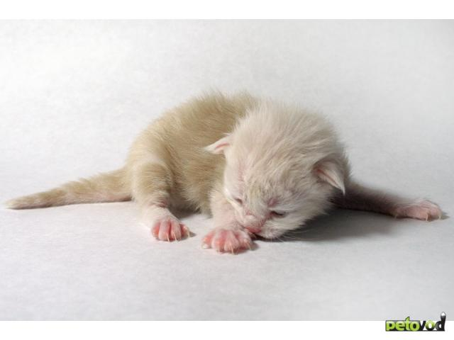 - Продаются котята Мейн-Кун - самой крупной и ласково - Фото 1.