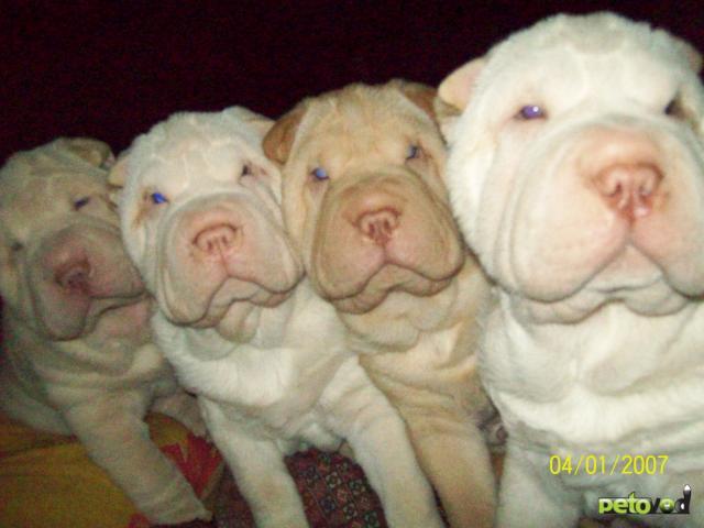 Собаки и щенки породы Шар-пей