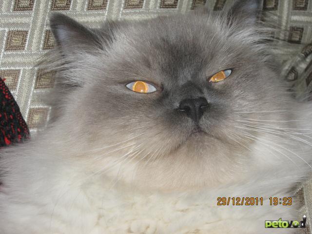 Ищу в сочи кота для вязки