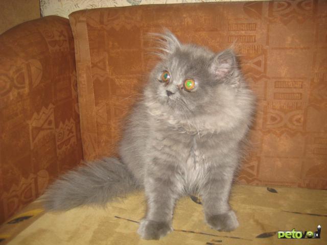 Продаю.Продается классический персидский котенок-Москва ...