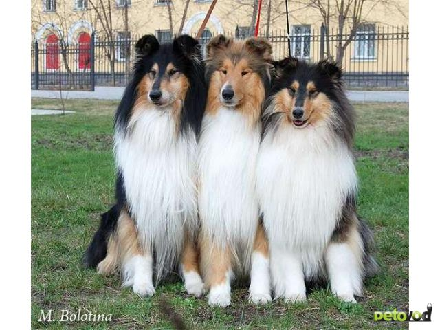 собака колли щенки фото