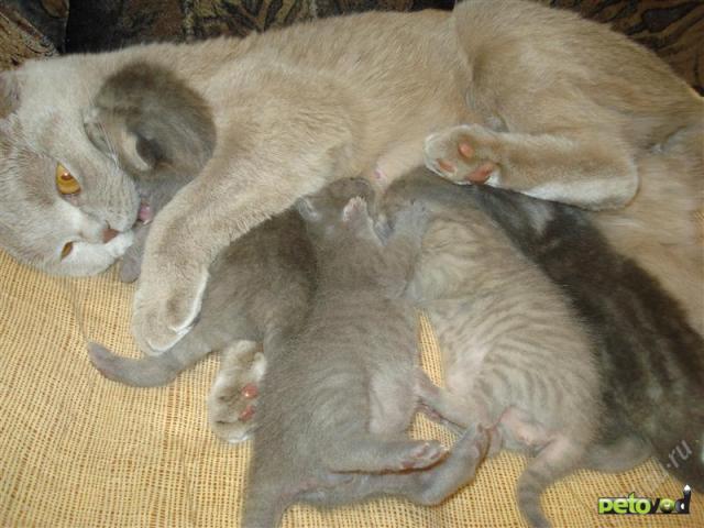 вислоухих кошек и котят