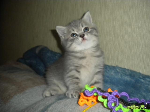кошка британская плюшевая фото