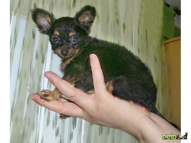 Собака русский той терьер продаю в