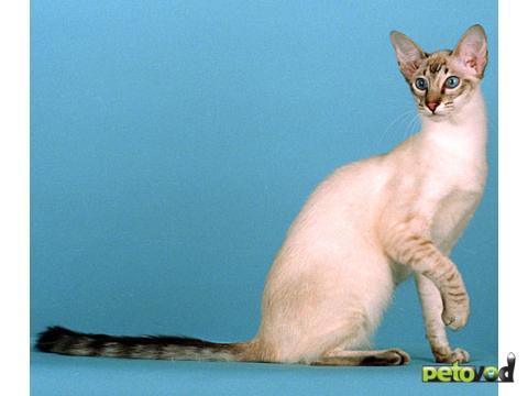 Коты яванская