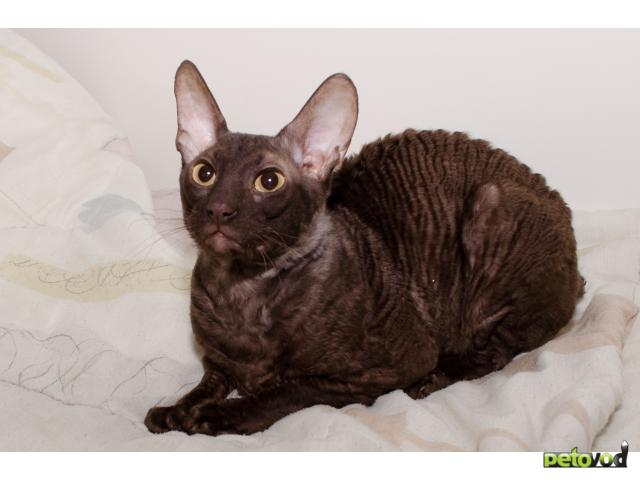 Коты корниш-рекс для вязки