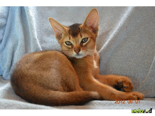 Абиссинские котята купить в краснодаре частные объявления работа екатеринбург свежие вакансии машинист экскаватора