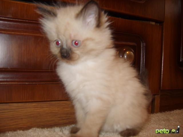 Сибирская кошка  Википедия