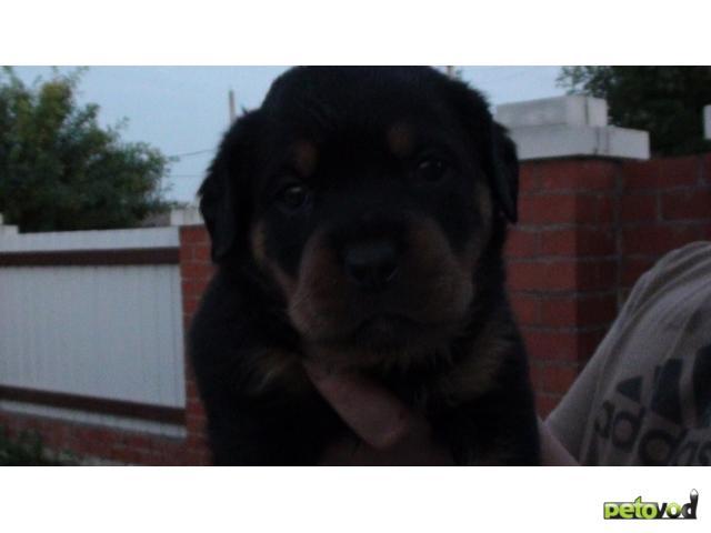Собака. Ротвейлер. Продаю в Нижнем Новгороде