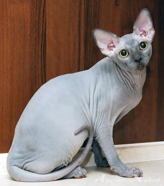 Котята питомника AprioriNaked.