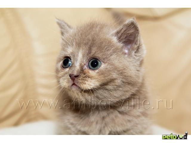 Продаю: Шотландские вислоухие и прямоухие котята фото2