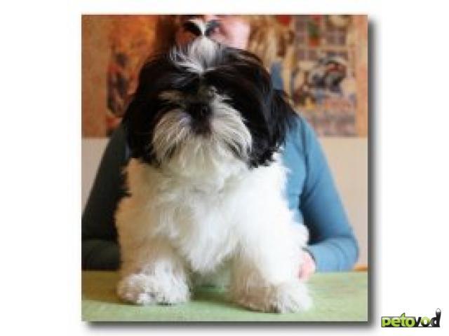 Продаю: Породные щенки ши-тцу  фото3