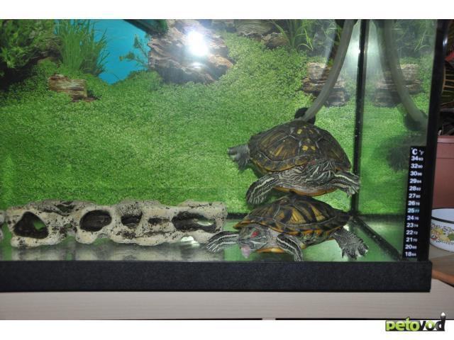 Отдам в дар: Отдам двух красноухих черепах с террариумом 270 л фото2