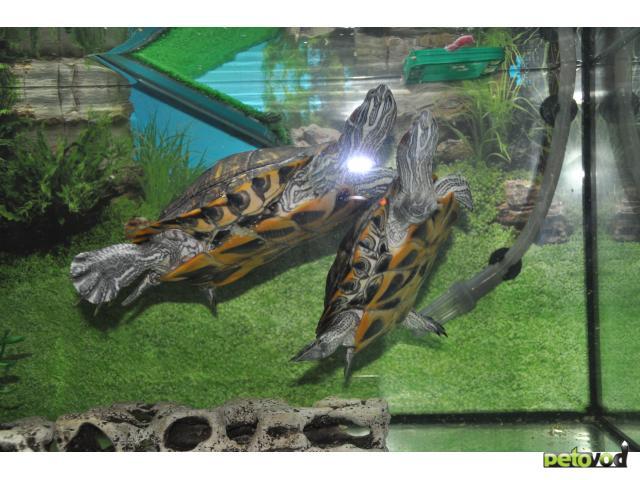 Отдам в дар: Отдам двух красноухих черепах с террариумом 270 л фото3