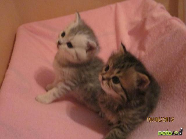 Продаю:  котят скоттиш страйт фото2