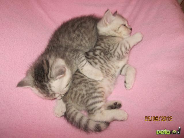 Продаю:  котят скоттиш страйт фото3