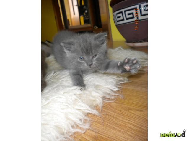 Продаю: Шотландские вислоухое котята фото2