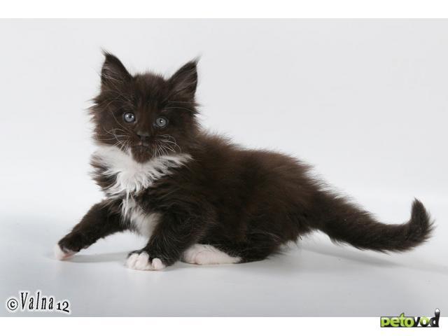 Продаю: Супер котята Мейн-Кун фото3