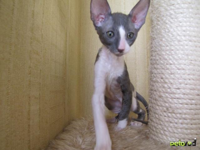 Продаю: Корниш-рекс котята фото2