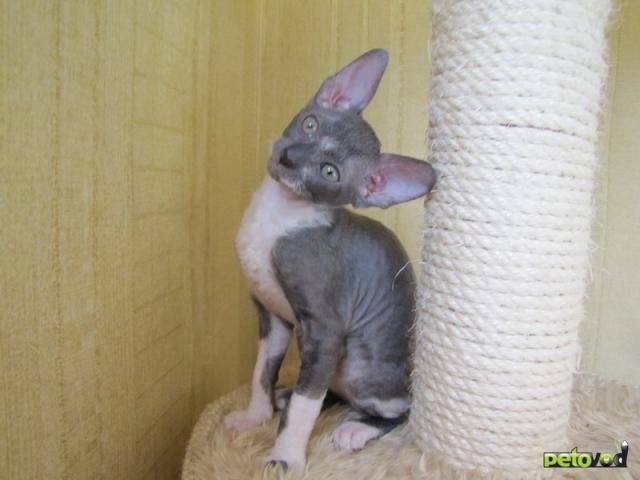 Продаю: Корниш-рекс котята фото3