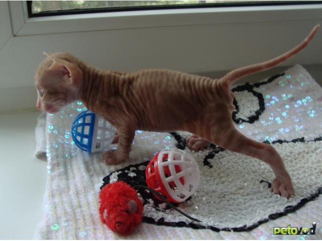 Продаю: Котёнок украинский левкой фото2