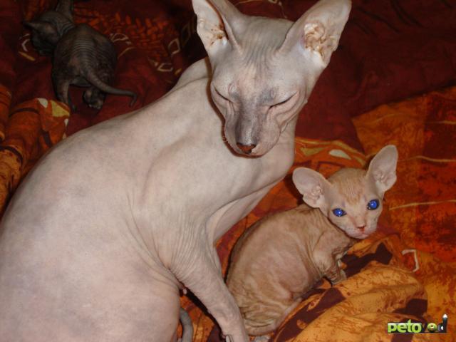 Продаю: Котёнок украинский левкой фото3