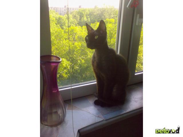 Потерялся/Нашелся: Нашли кота донского сфинкса браш фото2