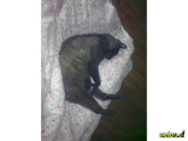 Потерялся/Нашелся: Нашли кота донского сфинкса браш фото3