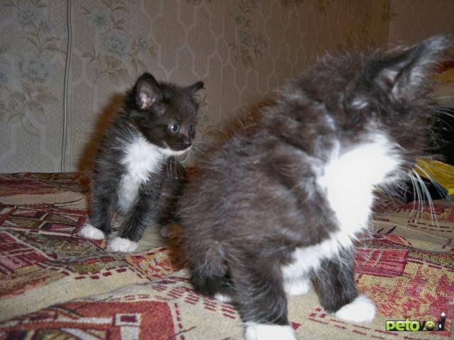 Отдам в дар: Отдам котят в добрые руки фото2