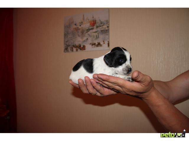 Продаю: тся щенки русского спаниеля фото2