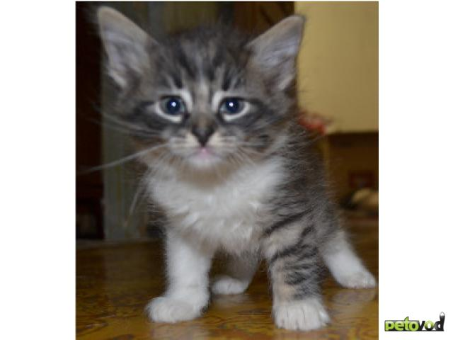 Отдам в дар: Очаровательные котята ждут своих добрых хозяев фото2
