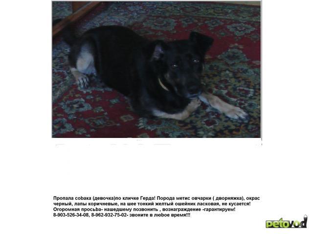 Потерялся/Нашелся: Пропала собака, метис (дворняжка) в г Сходня фото2