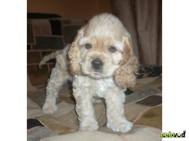 Продаю: Американского кокер-спаниеля щеночки продаются фото2