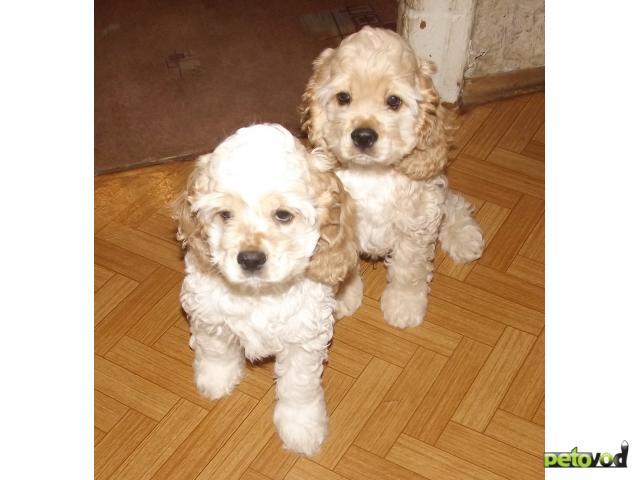 Продаю: Американского кокер-спаниеля щеночки продаются фото3