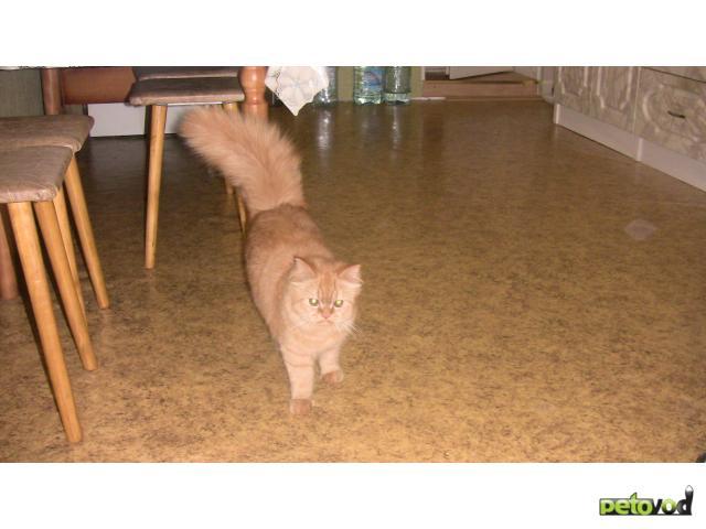 Отдам в дар: Кошечка - метис перса в добрые руки фото2