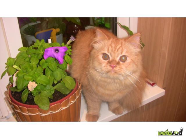 Отдам в дар: Кошечка - метис перса в добрые руки фото3