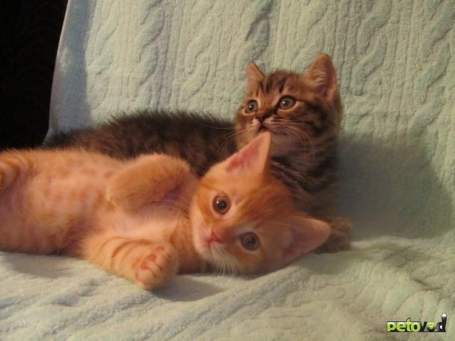 Продаю:  британских котиков фото2