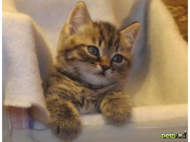 Продаю:  британских котиков фото3