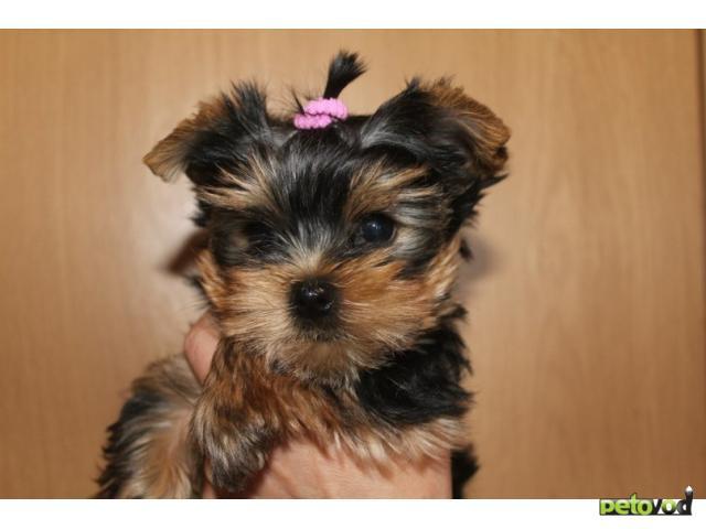 Продаю: Маленькие волосатики йорки фото3