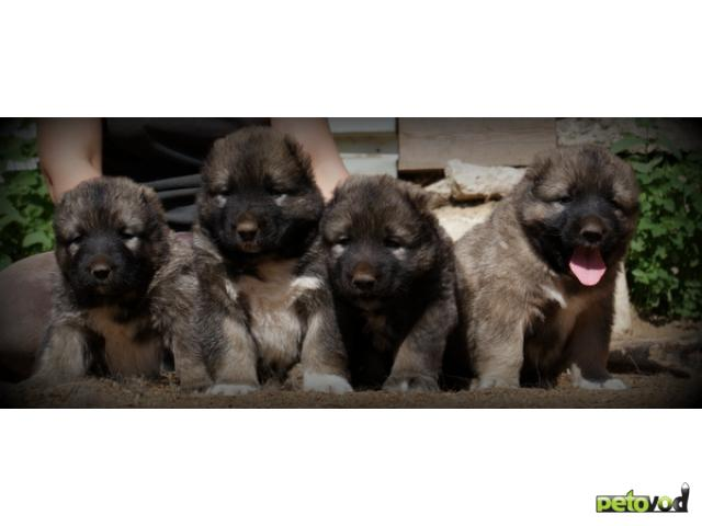 Продаю: тся щенки кавказской овчарки фото2