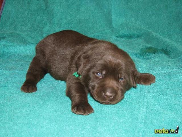 Продаю: Шоколадные и черные щенки лабрадора фото2