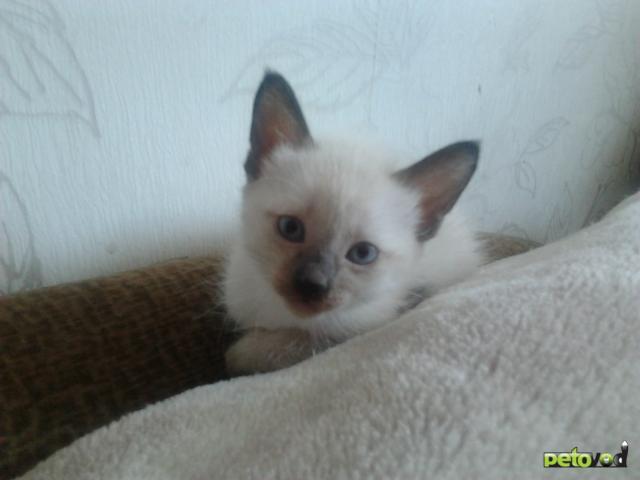 Продаю: Тайский котенок фото2