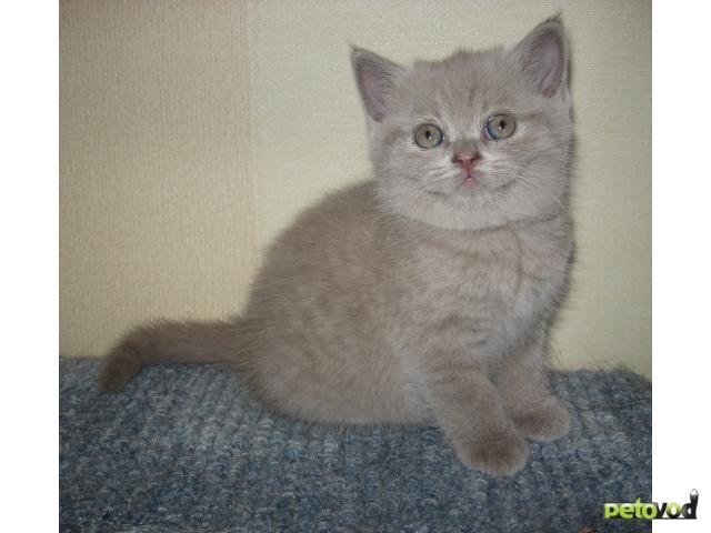 Продаю: Британские короткошерстные котята в рассрочку фото2