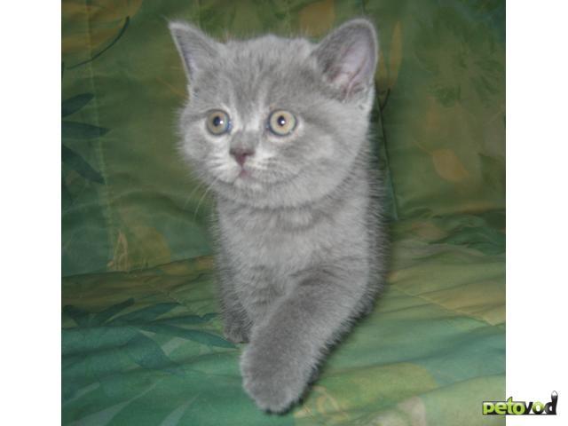 Продаю: Британские короткошерстные котята в рассрочку фото3