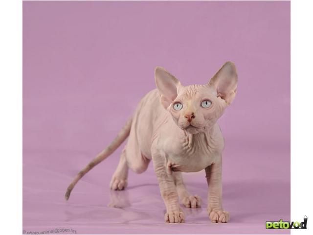 Продаю: Канадский сфинкс-котенок шоу класса для ВАС фото2