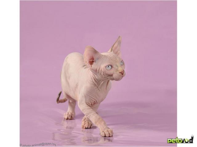 Продаю: Канадский сфинкс-котенок шоу класса для ВАС фото3