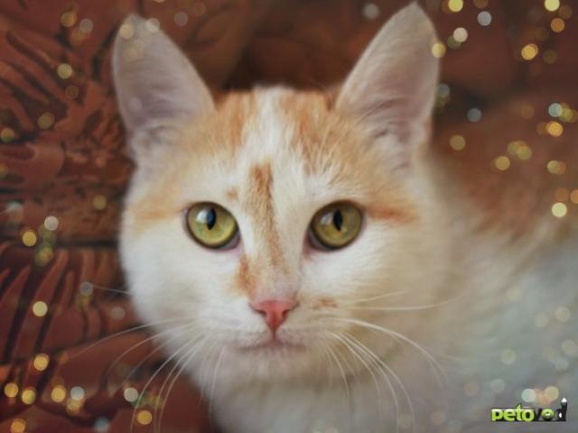 Отдам в дар: Бело-рыжий котенок на пмж фото2