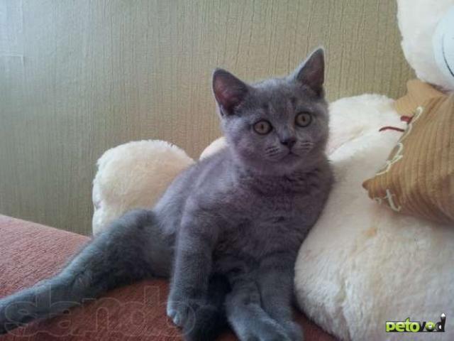 Продаю: Британский котенок, мальчик фото2